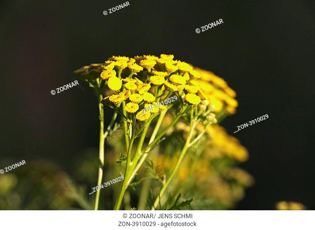 Wurmkraut Tanacetum vulgare
