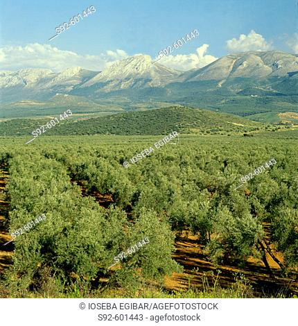 Olive trees fields, Jaen province, Andalusia, Spain