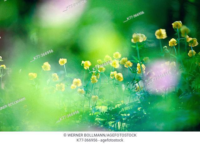European globeflower (Trollius europaeus). Sweden