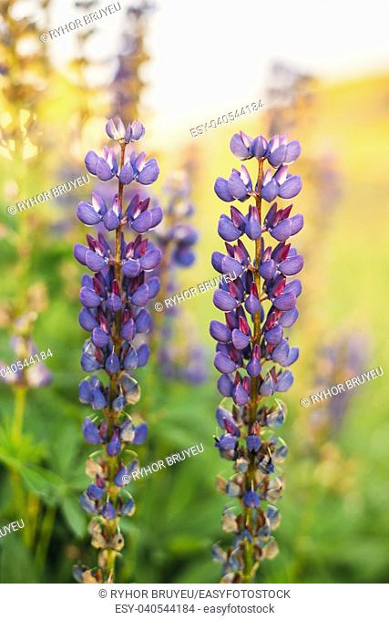 Gomel, Belarus. Wild Flowers Lupine In Summer Field Meadow At Sunset Sunrise. Close Up. Lupinus, Commonly Known As Lupin Or Lupine