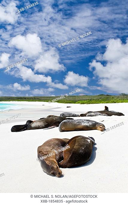 Galapagos sea lions Zalophus wollebaeki hauled out on Gardner beach on Santiago Island in the Galapagos Island Archipelago, Ecuador