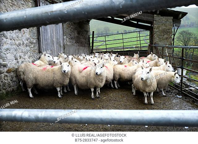 Flock of sheep in farm. Kettlewell, Skipton, North Yorkshire, Yorkshire Dales, England, UK