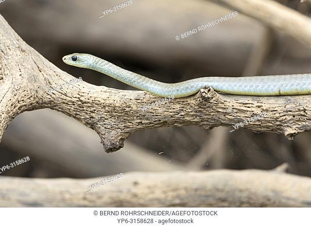 Indigo snake or Yellow-tailed cribo (Drymarchon corais) on tree, Pantanal, Mato Grosso, Brazil