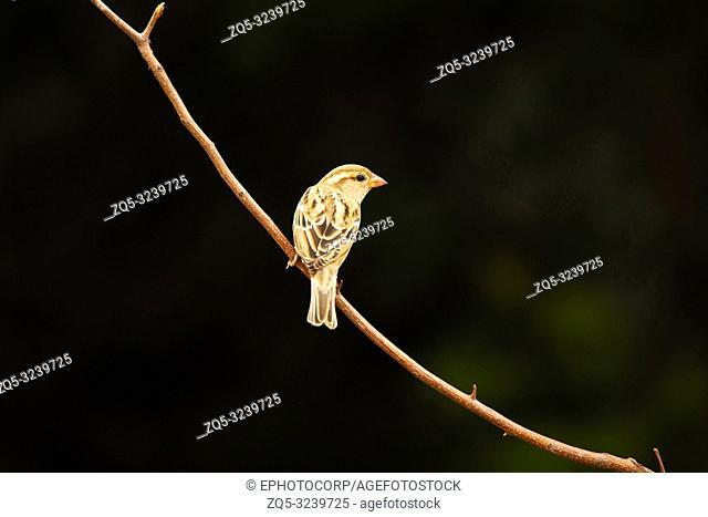 House Sparrow, Passer domesticus, Hampi, Karnataka, India