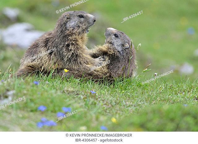 Two alpine marmots (Marmota marmota) fighting, Dachstein Salzkammergut, Austria