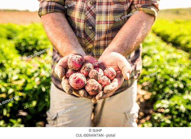 Mans mid section holding freshly harvested potatoes in hands