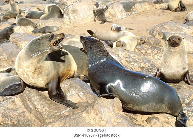 South African fur seal South African fur seal Arctocephalus pusillus, picture taken at Cape Cross in Namibia. Arctocephalus pusillus  South African fur seal...