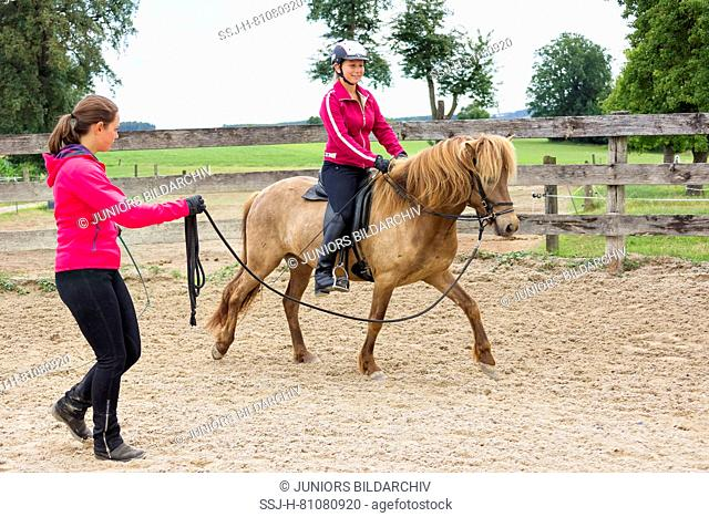Icelandic Horse. Training of a young mare, bein longed. It learns to accept bridle, saddle and rider. Austria