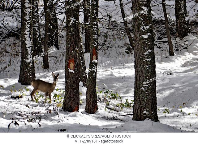 Orsiera Rocciavre Park, Chisone Valley, Piedmont, Italy. Roe deer in the snowy forest