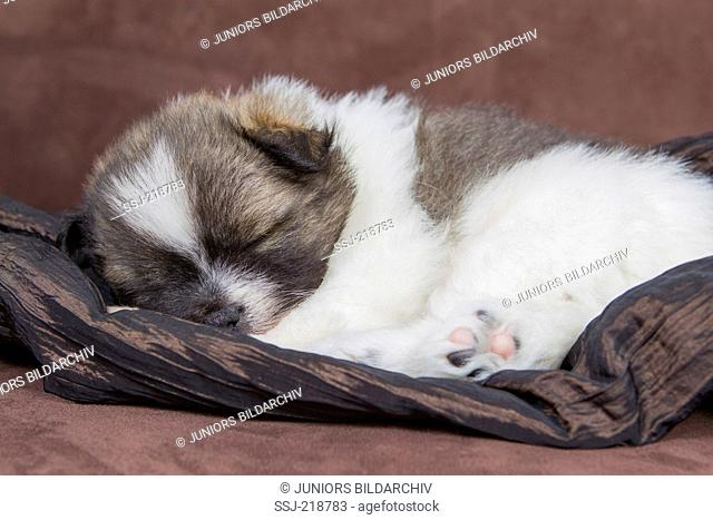 Small Elo. Puppy (5 weeks old) sleeoing. Studio picture. Germany