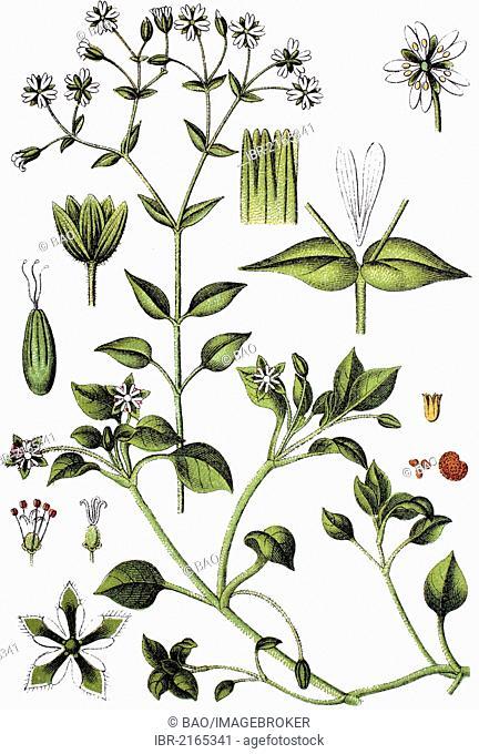 Grove Chickweed (Minuartia nemorum), top, Chickweed (Minuartia media), bottom, medicinal plant, useful plant, chromolithograph, circa 1790