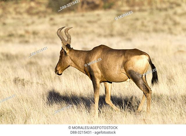 South Africa, Private reserve, Red hartebeest (Alcelaphus buselaphus caama or A. caama), adult