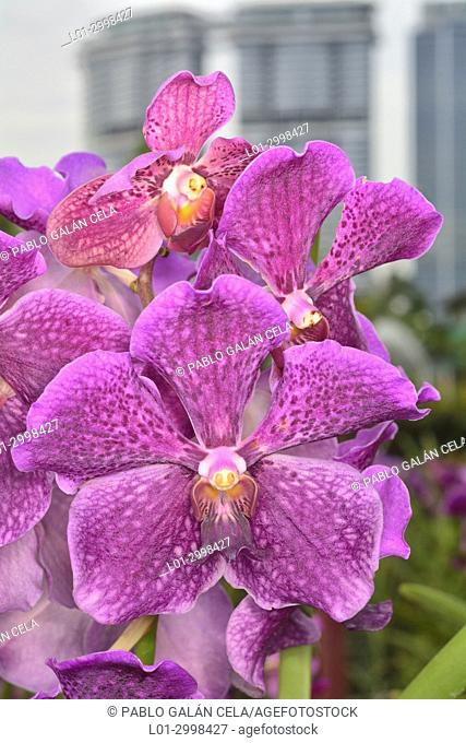Orchids in the botanical garden of Kuaka Lumpur (Malaysia)