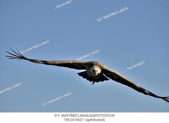 Griffon vulture (Gyps fulvus). Segovia province, Castilla-Leon. Spain