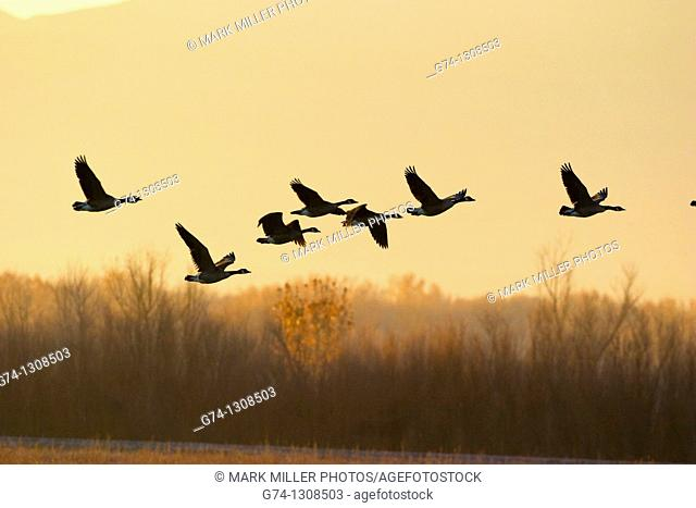 Canada Geese flying at Sunrise Rocky Mountains, USA