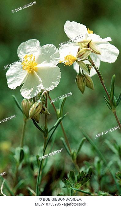 White ROCK-ROSE - close-up (Helianthemum apenninum)
