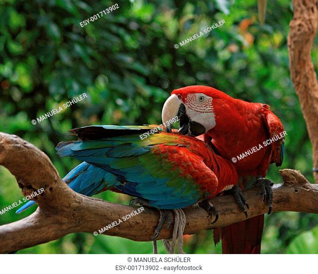 Parrot Ara macao