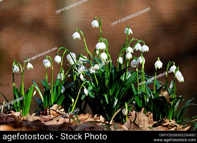 Thousands of Spring snowflakes (Leucojum vernum) bloom near Vyskov, Czech Republic on March 2, 2020. (CTK Photo/Ivo Stejskal)