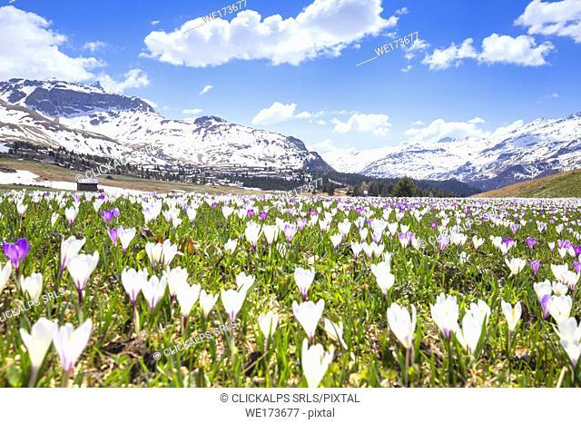 Flowering of Crocus nivea at Alp Flix. Alp Flix, Sur, Surses, Parc Ela, Region of Albula, Canton of Graubünden, Switzerland, Europe