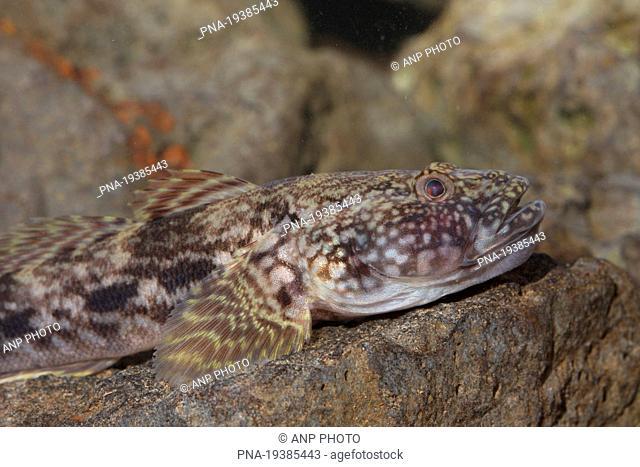 Bighead goby Neogobius kessleri - Wijhe, Salland, Overijssel, The Netherlands, Holland, Europe