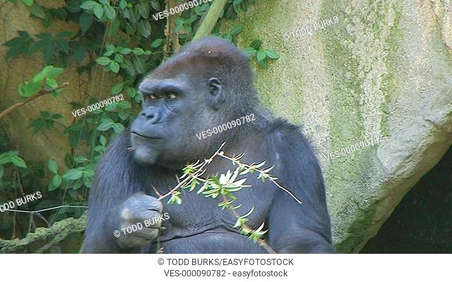 Western Lowland Gorilla eating leafy branch while on guard