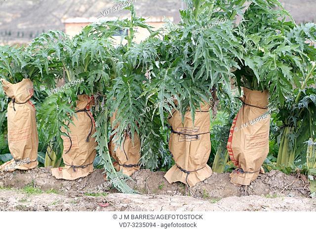 Cardoon (Cynara cardunculus) is a perennial herb native to Mediterranean region. Cardoons culture in the bleaching process