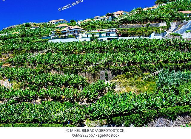 Banana plantation. Ponta do Sol village. Madeira, Portugal, Europe