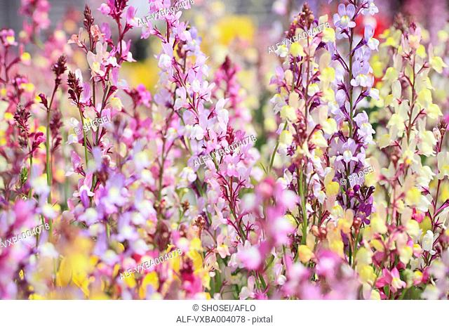 Clovenlip Toadflax