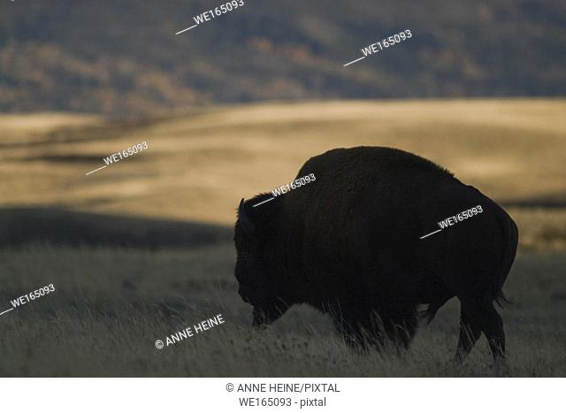 Male Bison standing on meadow in twilight, just north of Waterton National Park, Alberta, Canada