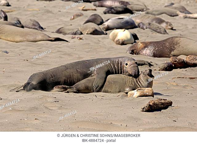 Northern Elephant Seals (Mirounga angustirostris), adult pair on the beach mating, elephant seal colony, Piedras Blancas Rookery, San Simeon