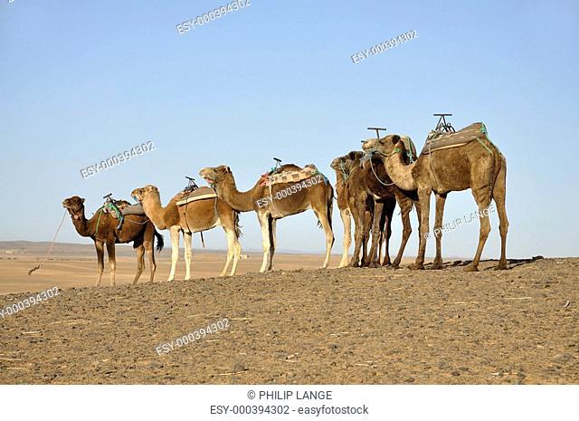 Dromedare in der Sahara, Marokko