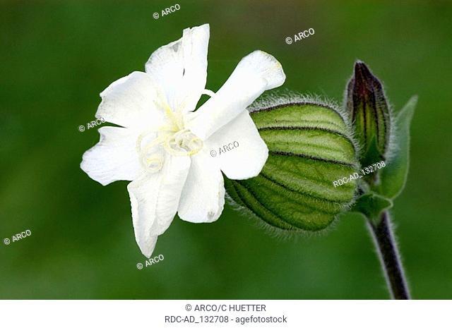 White Campion North-Rhine Westphalia Germany Melandrium album Silene latifolia alba Lychnis alba Silene alba Silene pratensis White Cockle Evening Lychnis
