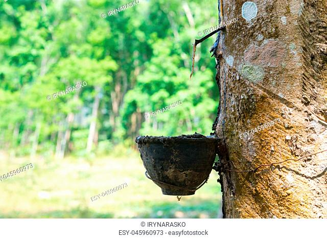 Natural rubber collecting from gashed rubber tree to harvesting bowl with green sunny forest on background