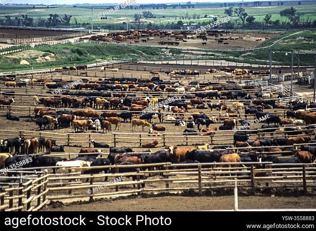 Cattle feedlot in Kansas, USA