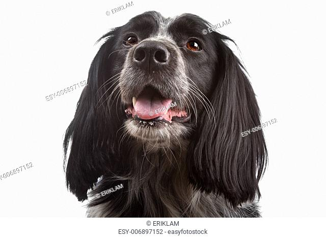 mixed breed dog.border collie, cocker spaniel in front of white