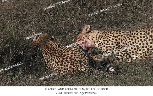 Cheetah's (Acinonyx jubatus) juveniles eating on prey