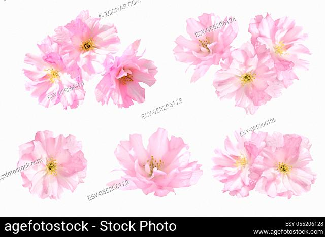 Pink flowers isolated on white background. Floral set of five flowers