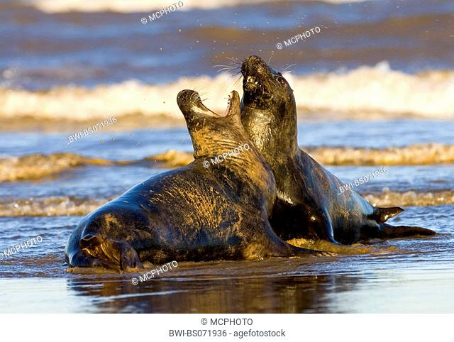 gray seal (Halichoerus grypus), two individuals fighting in the surge, Europe, Germany, Schleswig-Holstein, Heligoland