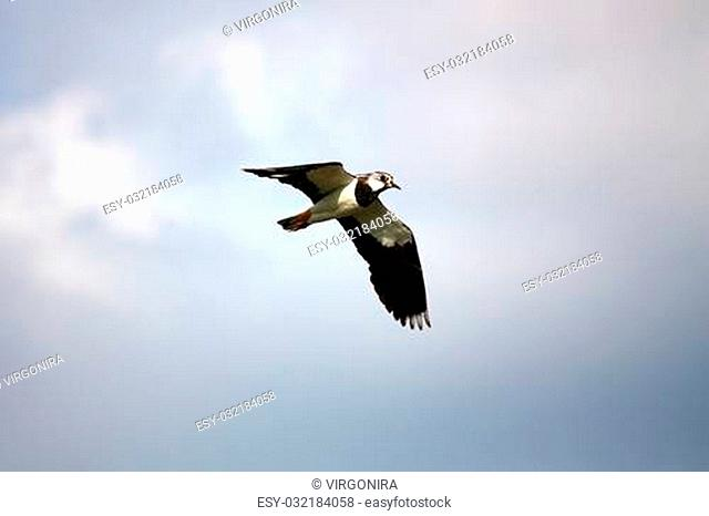 Northern Lapwing (also called Peewit and Green Plover) flying in the sky