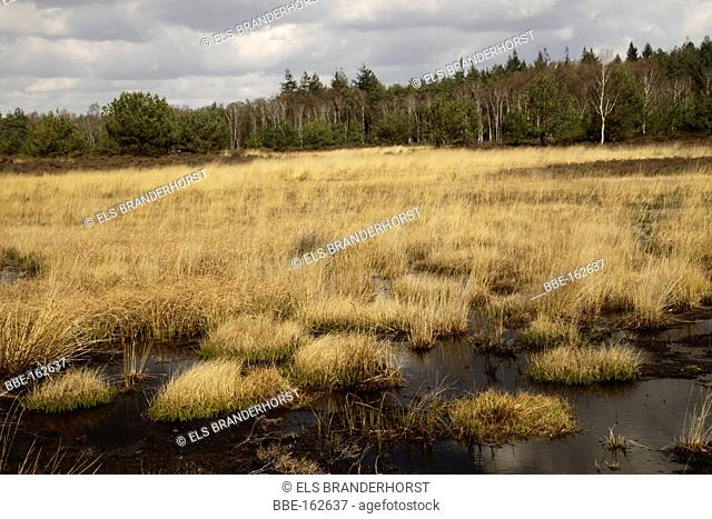 Heather landscape at the Veluwe National Park