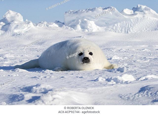 Harp seal (Pagophilus groenlandicus), whitecoat pup, on sea ice, Gulf of St. Lawrence, near Îles de la Madeleine (Magdalen Islands), Quebec, Canada