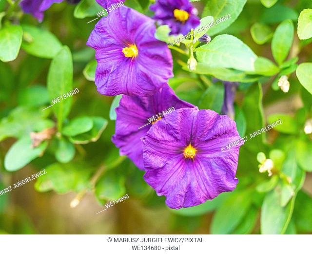 Lycianthes rantonnetii (blue potato bush) is a species of flowering plant in the family Solanaceae