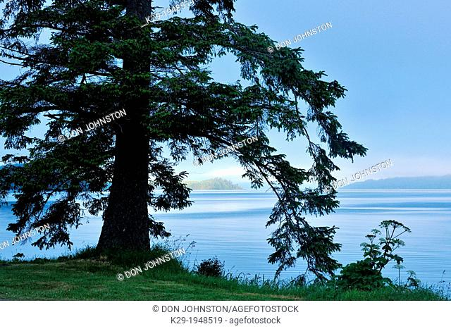 Sitka spruce overlooking Skideagte Inlet and Shingle Bay, Haida Gwaii (Queen Charlotte Islands)- Sandspit, British Columbia, Canada