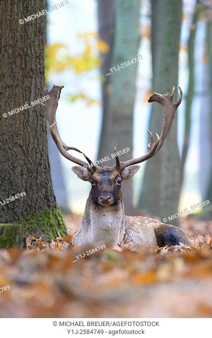 Fallow Deer (Cervus dama) in Autumn, Hesse, Germany, Europe