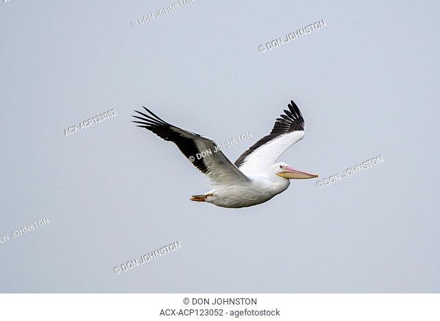 American white pelican (Pelecanus erythrorhynchos), Aransas NWR, Texas, USA