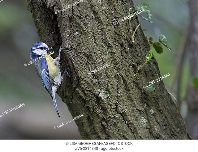 Blue Tit- Parus caeruleus takes food to young at nest hole. Spring