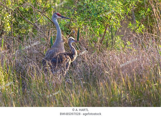sandhill crane (Grus canadensis), adult with nearly fledged chick in a moor, USA, Florida, Kissimmee