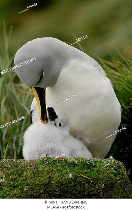 Gray-headed albatross with chick, Thalassarche chrysostoma, South Georgia Island