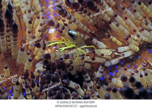 Commensal Shrimp on Fire Urchin, Allopontonia iaini, Asthenosoma varium, Manado, Sulawesi, Indonesia