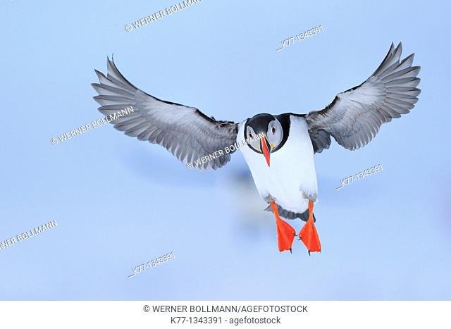 Atlantic Puffin (Fratercula arctica), Norway, April 2010